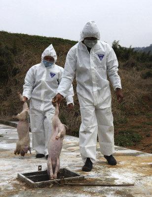 上海死豬風波成為許多中國富人移民海外的動力之一。圖為3月21日浙江諸暨市衛生人員在處理死豬。(美聯社)