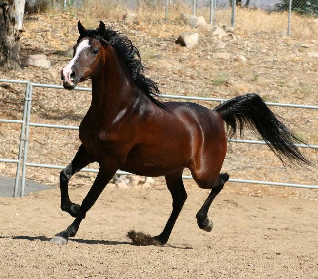 摩根駿馬。
