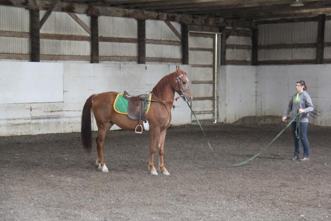 工作人員在訓練摩根馬。