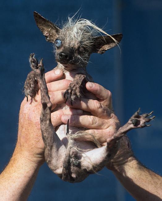 「世界最丑的狗」 人吓到跳车顶