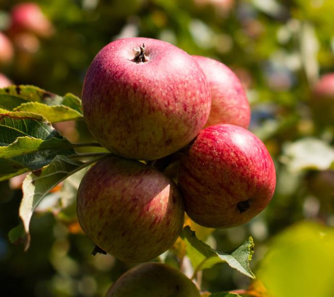 蘋果外層的果膠,助正常排便,並降低壞膽固醇和血糖。(Getty Images)