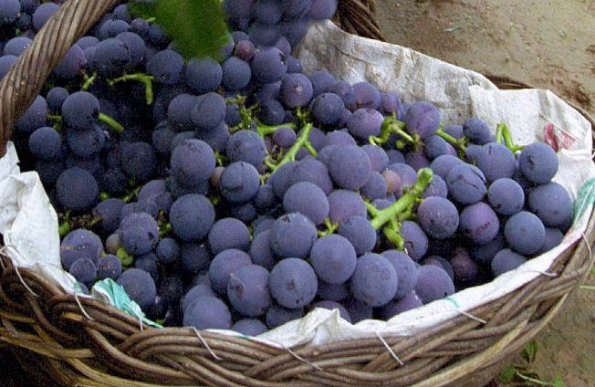 葡萄外皮是紅葡萄所有白藜蘆醇集中的地方,對心臟和大腦有益。(Getty Images)