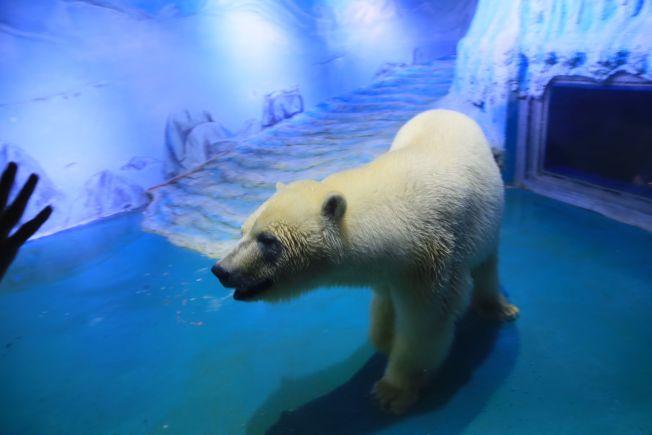 廣東省廣州正佳廣場飼養的北極熊「披薩」(Pizza)因水族館環境惡劣,被媒體稱為「最悲傷北極熊」而備受關注。在中國已有逾100萬人簽署請願,要求將「披薩」轉移到合適處。(Getty Images)