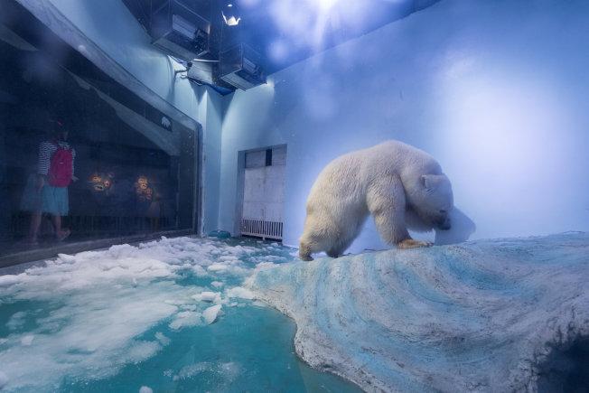 廣東省廣州正佳廣場飼養的北極熊「披薩」(Pizza)因水族館環境惡劣,被媒體稱為「最悲傷北極熊」而備受關注。在中國已有逾100萬人簽署請願,要求將「披薩」轉移到合適處。(路透)