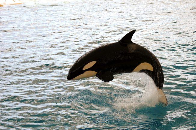 殺人鯨也有更年期 母女競爭是關鍵