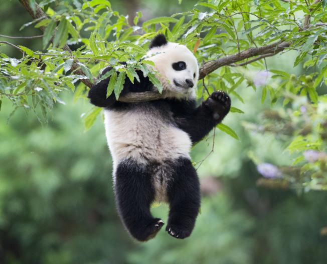 華府國家動物園的熊貓「寶寶」屆滿三歲,本月即將送回中國。圖為寶寶幼時爬樹嬉戲。(美聯社)