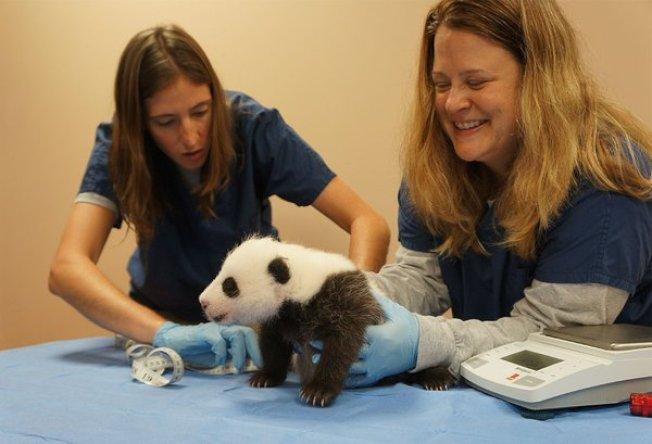 「寶寶」新生,華府動物園的保育專家欣喜的為牠量身長、秤體重。(史密森尼博物館)