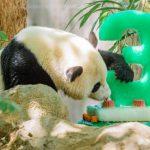 華府人氣熊貓 寶寶下周回中國了!