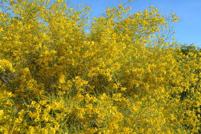 賭城近日花粉含量創新高。(記者馮鳴台/攝影)