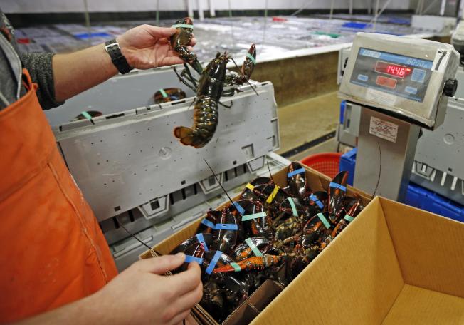 美國緬因州一處漁貨市場的龍蝦正在稱重,冷凍出口到中國。去年,中國自美國進口龍蝦金額創紀錄。(美聯社)