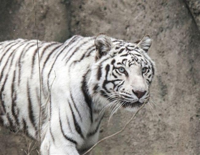 網上一組遊客在大興區北京野生動物園的白虎觀賞自駕區下車遊覽的照片,引發關注。(取材自新京報/視覺中國)