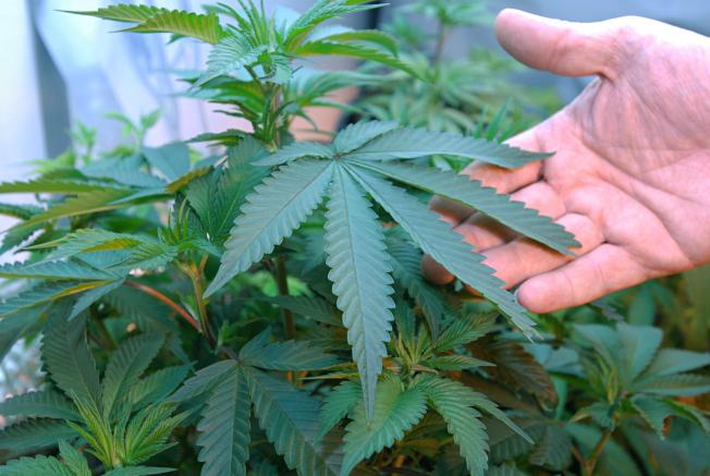 室內栽植的大麻。(美聯社)