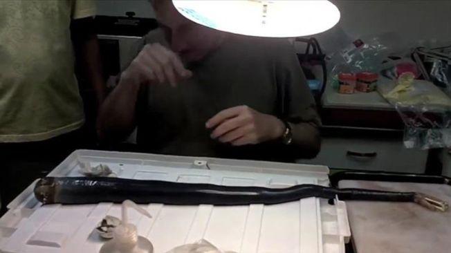 科學家首度在菲律賓發現罕見的巨蛀船蛤活體。這種生物的長度可達1.55公尺、直徑可達6公分,相關細節發表於美國科學期刊。(翻攝自美國國家科學院院刊影片)