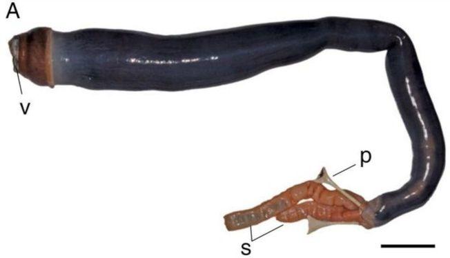 這條巨蛀船蛤用一個閥門狀的器官(V)進食,並且有兩個虹吸管(S)吸水和排水。(翻攝自美國國家科學院院刊影片)