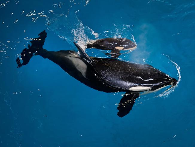 殺人鯨寶寶出生後和母親「塔卡拉」形影不離。(美聯社/海洋世界提供)