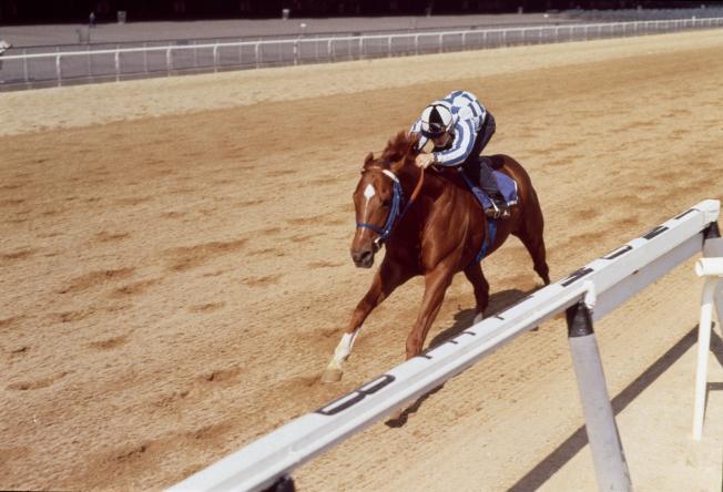 1973年6月8日,賽馬「秘書 (Secretariat)」正在賽馬場中練習。(美聯社)