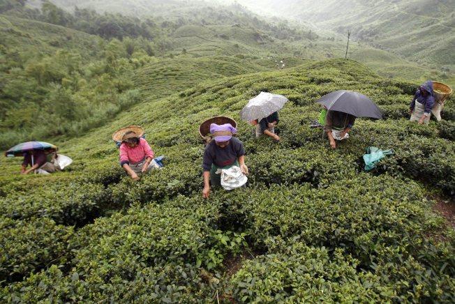大吉嶺的夏摘茶產量可能掛零,全年營收也可能銳減四成。(路透資料照片)