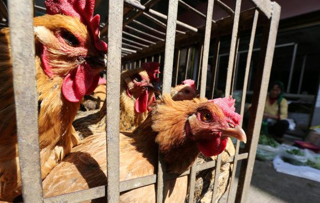 中國雲南一處家禽市場出售的活雞。(路透)