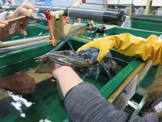 格羅斯莫爾那國家公園裡水族館中展示的藍色龍蝦,200萬隻裡才會見到一隻。