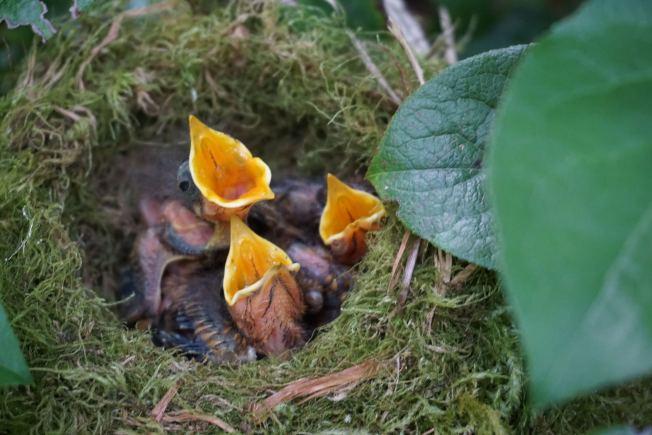 三隻斯氏夜鶇幼鳥嗷嗷待哺。