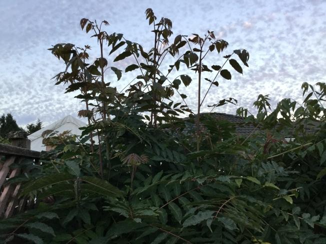 我家的香椿樹長得異常茂盛。(圖:許業武提供)