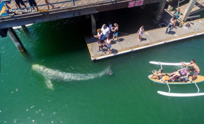 一頭少年灰鯨近日在南加海灘逍遙游,由於是非比尋常的近距離接觸,所到之處引起驚呼連連。(dolphin safari.com)