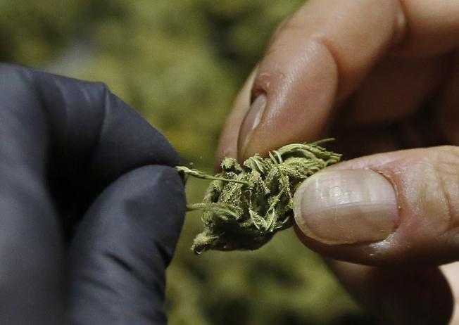 加州一名女子處理自種的大麻。(美聯社)