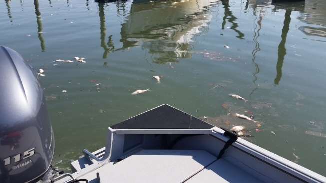「保護河流」9日在法拉盛溪發現上千死魚。(保護河流組織John Lipscomb攝影)