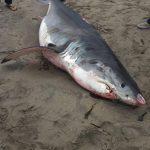 大白鯊遭斷鰭 陳屍聖他克魯茲海灘