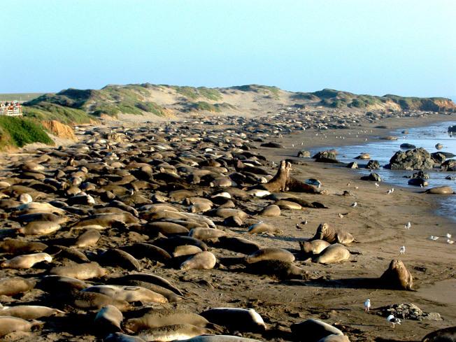 加州 Point Piedras Blancas 象海豹每年早春在此繁殖。距離Hearst San Simeon州立公園露營地10英里。