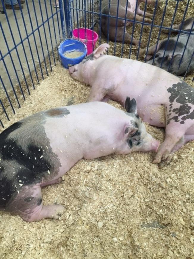 豬兒吃飽了就睡。