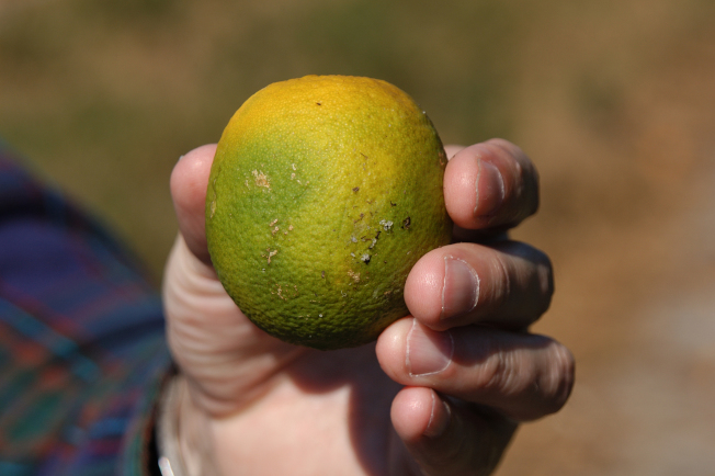 染病後的果實個小且呈綠色。(洛縣農業局提供)