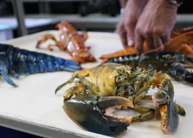 新英格蘭水族館上月展示了該館收集到的藍、黃、斑點棕色和雙色等罕見顏色龍蝦。(取自新英格蘭水族館臉書)