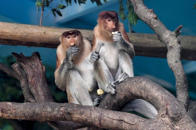 廣州長隆野生動物世界向媒體公開新成員─—名列《世界自然保護聯盟》瀕危物種紅色名錄瀕危級別的大鼻猴。 (中新社)