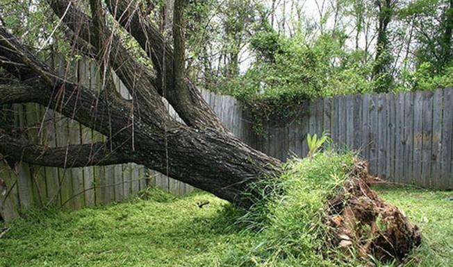 大樹倒至隔壁鄰居之圍牆,鄰居需自行申報賠償,大樹之屋主不須賠償圍牆,但可向保險公司申報移除傾倒大樹費用,不過需付自付額(Deductable)。(All State保險提供)