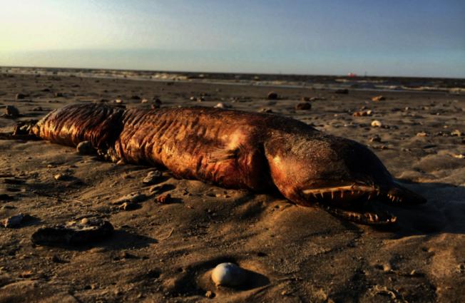 颶風哈維(Harvey)過後,民眾在美國德州的海灘上,驚見了一具神秘海洋生物屍體。圖/擷自推特
