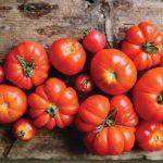241種!洛斯蓋圖番茄品種破世界紀錄