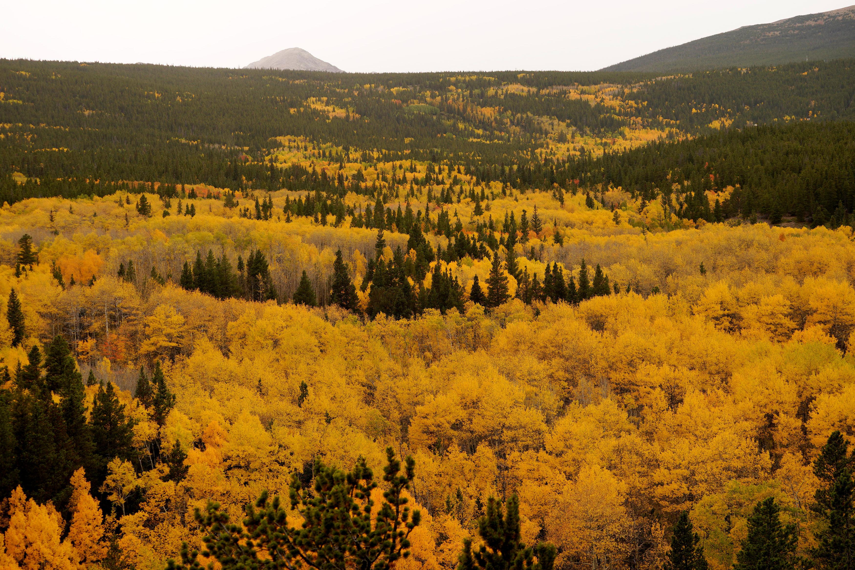 柯羅拉多州丹佛市西北邊不遠的尼德蘭,山丘上一片白楊樹林,帶來第一道秋景。(路透)