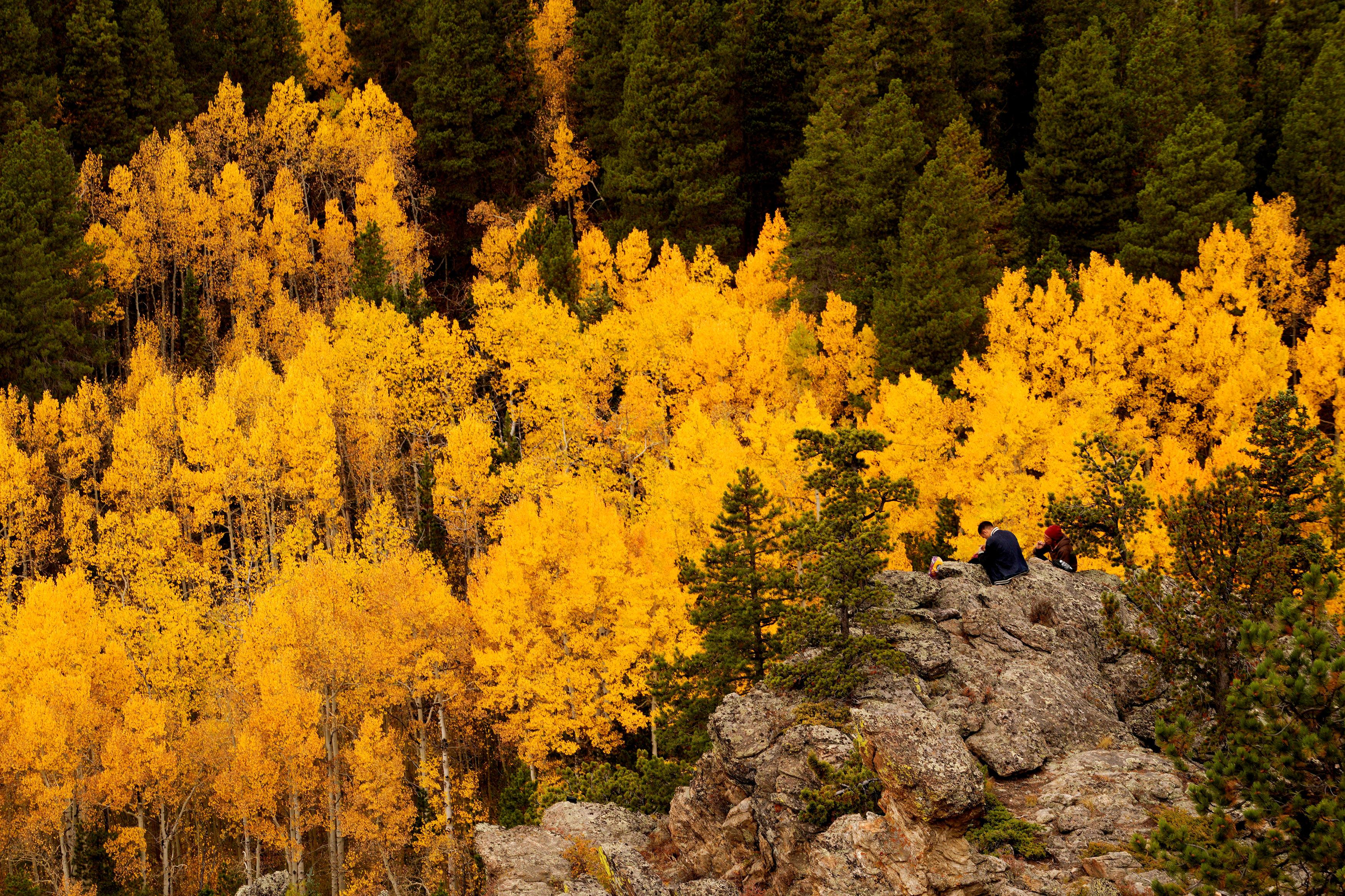 柯羅拉多州丹佛市西北邊不遠的尼德蘭,一位男士坐在泛著金光的白楊樹中。(路透)