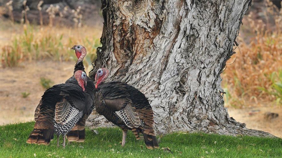 派勒特岩小鎮(Pilot Rock)求助奧勒岡州政府,解決野生火雞四處破壞花園、留下糞便的窘境。(美聯社)
