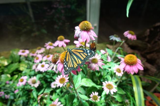 帝王斑蝶。(記者金春香/攝影)