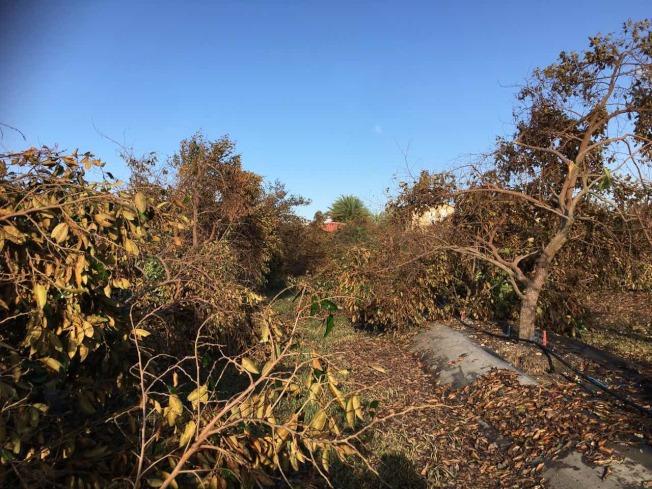 Nancy家的果園被吹倒200多棵樹。(Nancy/提供)