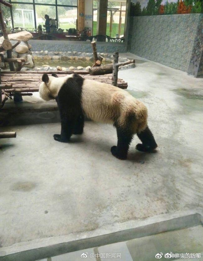 網友拍攝的照片中,大熊貓已經瘦得肋骨清晰可見。(取材自微博)