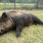 416磅野豬闖住宅 遭射殺