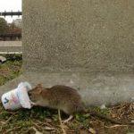 鼠患之都 德州3大城上榜