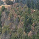 專家:橡樹猝死症 恐北加州山火元凶