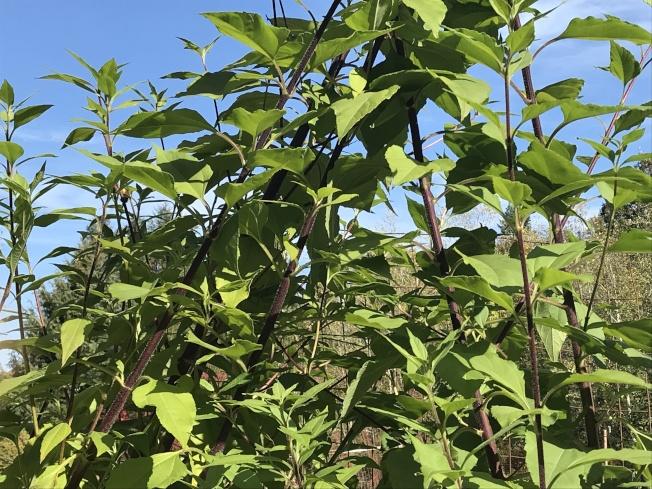菊芋長著帶毛刺的紫色莖和向日葵般的綠葉。