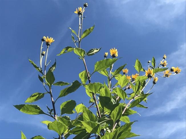 黃色的菊芋小盤花,鑲嵌在碧藍如洗的天空。