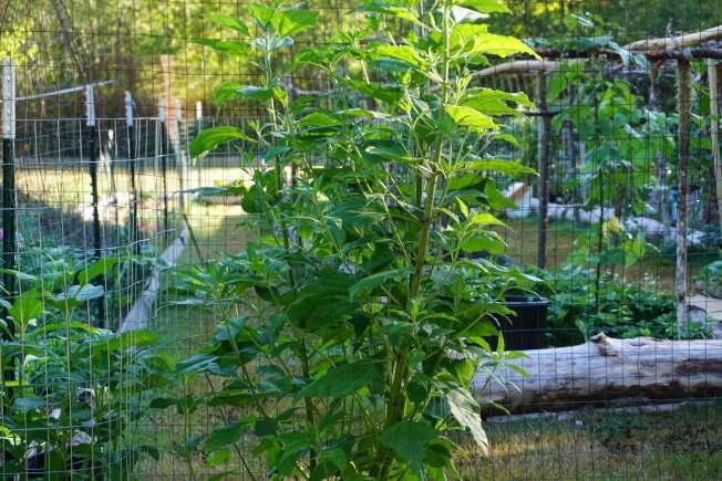 菜園外被鹿們啃過的菊芋生長得更加旺盛。