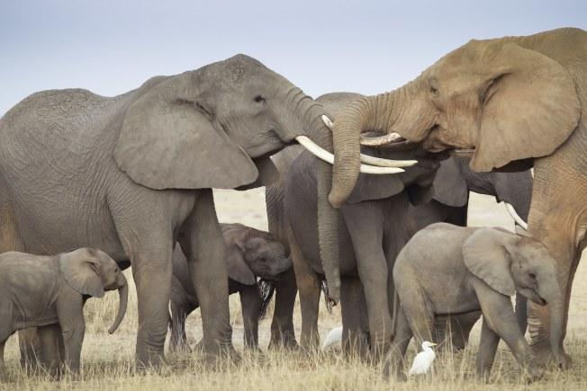 川普政府准許在辛巴威獵殺大象的人把象牙帶回美國的決定引發爭議,致使川普17日晚間收回成命。圖為在肯亞南部的一個象群。(歐新社)